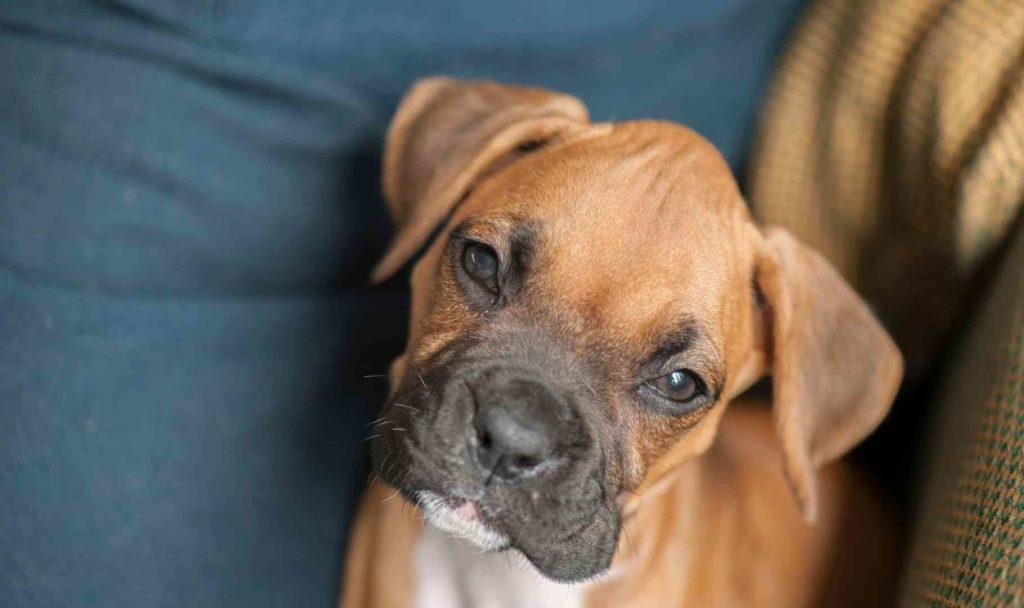 il boxer cucciolo