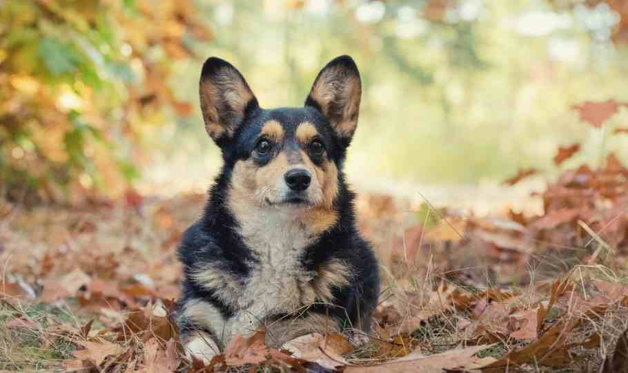 welsh corgie la razza
